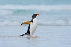 Gentoo企鹅在福克兰群岛时跳出大海,当游泳通过海洋 免版税库存照片