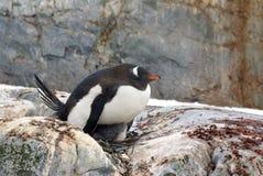 Gentoo企鹅坐小鸡 图库摄影