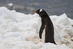 Gentoo企鹅外形 免版税图库摄影