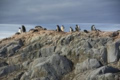 Gentoo企鹅太阳在南极洲 图库摄影