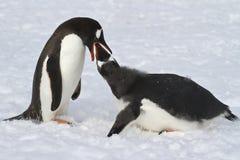 Gentoo企鹅女性哺养的成人小鸡 库存图片