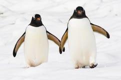 Gentoo企鹅好朋友 库存图片
