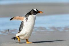 Gentoo企鹅姿势。 免版税库存照片