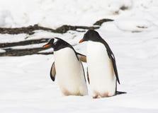 Gentoo企鹅对 免版税库存图片