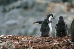 Gentoo企鹅小鸡在南极洲 图库摄影