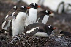Gentoo企鹅殖民地在南极洲 免版税库存照片