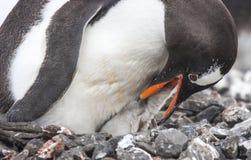 Gentoo企鹅筑巢地面,喂养小鸡的父母 免版税库存图片