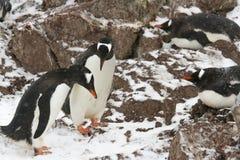 Gentoo企鹅联接的行为 图库摄影