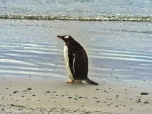 Gentoo企鹅, Pygoscelis巴布亚,志愿点,福克兰群岛-玛尔维娜 库存图片