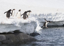 Gentoo企鹅从冰跳 库存图片