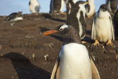 Gentoo企鹅-福克兰群岛 库存图片