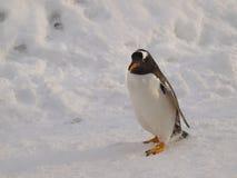 gentoo企鹅 免版税图库摄影