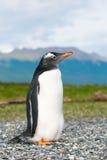 Gentoo企鹅 免版税库存照片