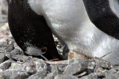gentoo企鹅 库存图片