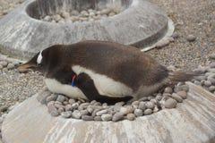 Gentoo企鹅- Pygoscelis巴布亚 免版税库存照片