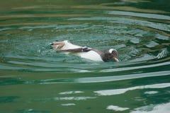 Gentoo企鹅- Pygoscelis巴布亚 免版税图库摄影
