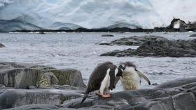 Gentoo企鹅chiks 影视素材