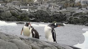 Gentoo企鹅chiks 股票录像