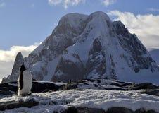 Gentoo向天空企鹅神色在南极洲 库存照片
