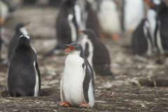 Gentoo在布里克岛的企鹅小鸡 免版税库存图片