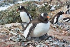 Gentoo女性企鹅嵌套在南极洲 库存图片