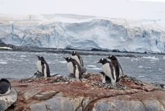 Gentoo小山的企鹅殖民地,在冰川前面 免版税库存图片