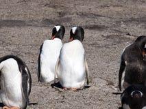 Gentoo小狗, Pygoscelis巴布亚,更加合理的海岛,福克兰海岛玛尔维娜 免版税库存图片