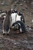 Gentoo有一只小鸡的企鹅殖民地在南极洲 免版税图库摄影
