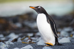 Gentoo走在一个多岩石的海滩的Pinguin (Pygoscelis巴布亚) 库存照片