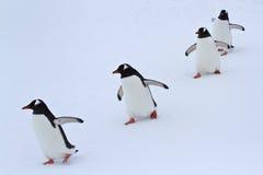 Gentoo走在雪南极州的企鹅小组 免版税库存图片