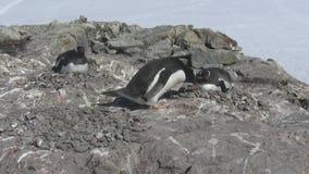 Gentoo转移从另一巢的石头到他自己女性坐的企鹅男性 股票视频