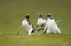 Gentoo追逐他们的父母的企鹅小鸡将哺养 免版税库存照片