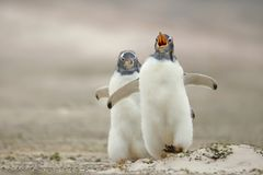Gentoo追逐它的含沙海岸的企鹅小鸡兄弟姐妹 库存照片