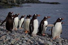 gentoo Антарктики смотря море пингвинов Стоковое фото RF