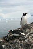 gentoo приветствуя своего пингвина ответной части Стоковые Фото