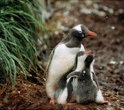 Пингвины Gentoo, Южная Георгия Стоковое Изображение