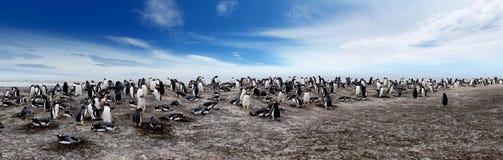 殖民地gentoo企鹅 免版税库存图片