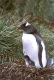 Gentoo and Chick. Gentoo penguin and chick Royalty Free Stock Image