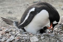Gentoo chick eating from mom Stock Images
