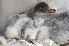 Gentoo chick that hatched from eggs Royalty Free Stock Photo