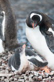 Gentoo chick and his mother Stock Photos