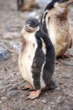 Gentoo Chicks Royalty Free Stock Photography