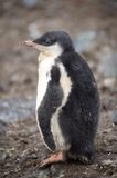 Gentoo Chicks Stock Images