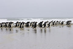 Gentoo colony strolling along the beach. Stock Images