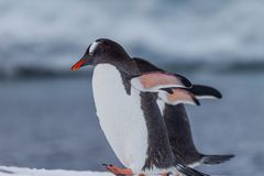 Gentoo couple who mate for life in Antarctica Stock Photo