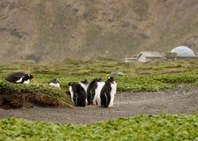 gentoo dorastający pingwiny Obrazy Stock