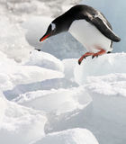 Gentoo on the edge. Gentoo penguin contemplating jump in yankee harbor, antarctica Royalty Free Stock Photos