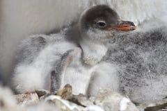 Gentoo fågelunge som kläckte från ägg Royaltyfri Foto