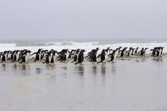 Gentoo-Kolonie, die entlang den Strand schlendert Stockbilder