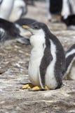 gentoo Papua pingwinu pygoscelis Obrazy Stock